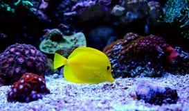 Yellow tang. Zebrasoma flavescens tang stock photography