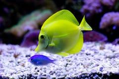 Yellow Tang (Zebrasoma flavescens) in aquarium Stock Image