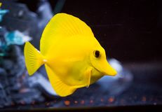Yellow Tang Zebrasoma flavescens in Captive Aquarium. Detail of a yellow tang, Zebrasoma flavescens, saltwater fish housed in a reef aquarium system royalty free stock image