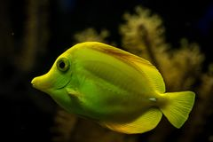 Yellow tang Zebrasoma flavescens, coral reef fish, Salt water marine fish, beautiful yellow fish with tropical corals. In background, aquarium, wallpaper royalty free stock images