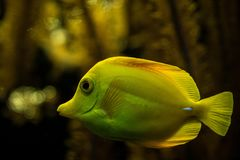 Yellow tang Zebrasoma flavescens, coral reef fish, Salt water marine fish, beautiful yellow fish with tropical corals. In background, aquarium, wallpaper royalty free stock photography