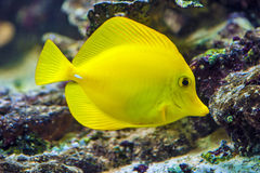 Yellow tang - Zebrasoma flavescens. Yellow fish on the coral reef stock image