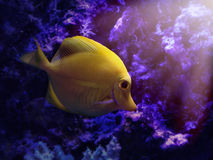 Yellow Tang Zebrasoma Flavescens Fish. A yellow tang Zebrasoma flavescens fish is swimming by reef deep in the water for an aquatic concept Stock Photography