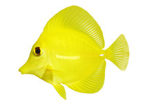 Yellow tang zebrasoma flavescens isolated on white royalty free stock photo