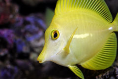 Yellow tang, zebrasoma flavescens - macro. Yellow tang, zebrasoma flavescens in aquarium - macro of facial details Royalty Free Stock Images