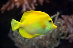 Yellow tang Zebrasoma flavescens. Marine fish Stock Photo