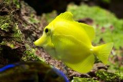 Yellow Tang (Zebrasoma flavescens) Royalty Free Stock Photo