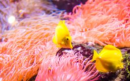Yellow tang or Zebrasoma flavescens. The yellow tang, Zebrasoma flavescens, is a saltwater fish species of the family Acanthuridae. It is one of the most popular stock photos