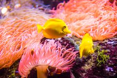 Yellow tang or Zebrasoma flavescens. The yellow tang, Zebrasoma flavescens, is a saltwater fish species of the family Acanthuridae. It is one of the most popular royalty free stock photos
