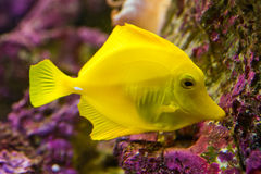 Yellow Tang - Zebrasoma. Flavescens - tropical marine fish stock image