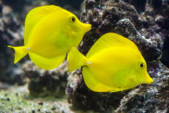 Yellow tang - Zebrasoma flavescens. Two Yellow fish on the coral reef stock image