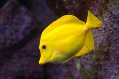Yellow tang (Zebrasoma flavescens). Wild life animal Royalty Free Stock Image