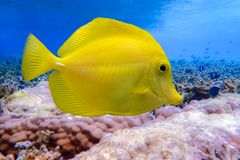 Yellow tang - Zebrasoma flavescens,  Yellow fish on the coral reef. Close up,detail Royalty Free Stock Photos