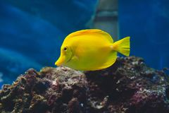 The yellow tang Zebrasoma flavescens. Is a saltwater fish species of the family Acanthuridae Stock Photo