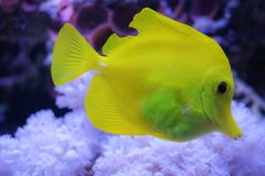 Yellow tang zebrasoma salt water aquarium fish royalty free stock photo