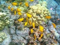 Yellow Tangs in Hawaii island Royalty Free Stock Image