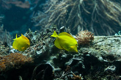 Yellow tangs (Zebrasoma flavescens) Royalty Free Stock Photography