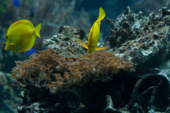 Yellow tangs (Zebrasoma flavescens). The yellow tang (Zebrasoma flavescens) is a saltwater fish species of the family Acanthuridae (surgeonfish family Stock Image