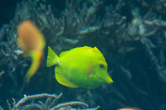 Yellow tangs (Zebrasoma flavescens). The yellow tang (Zebrasoma flavescens) is a saltwater fish species of the family Acanthuridae (surgeonfish family Royalty Free Stock Image