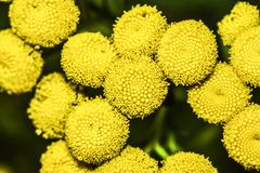 Yellow tansy flower, blooming in summer on the meadow. Yellow tansy flower, blooming in summer on the meadow stock photos