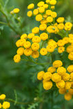 Yellow tansy flowers. Over green grass stock photography