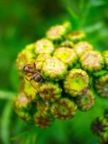 Yellow tansy inflorescence and ant on it royalty free stock image