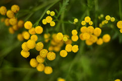 Yellow Tansy Royalty Free Stock Images