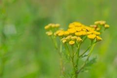 Yellow Tansy Royalty Free Stock Image