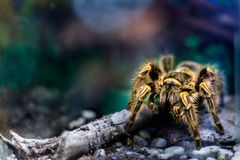 Yellow tarantula in terrarium. Toxic spider Stock Image