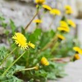 Yellow taraxacum flower composition Stock Image