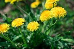Yellow Taraxacum Officinale