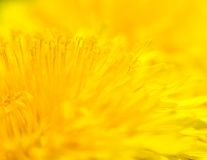 Yellow Taraxacum officinale - background Stock Image