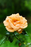 Yellow tea rose after rain Stock Photos