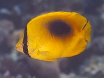 Yellow teardrop butterflyfish Stock Photography