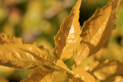 Yellow tender leaves Stock Photo