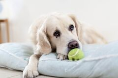 Yellow Tennis Ball in Front of the White Short Coated Dog Stock Photography