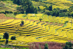 Yellow terraced rice field at Ban Pa Bong Peay in Chiangmai, Tha Royalty Free Stock Photography