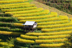 Yellow terraced rice field at Ban Pa Bong Peay in Chiangmai, Tha Stock Image