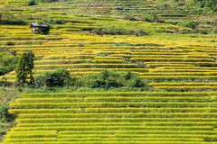 Yellow terraced rice field at Ban Pa Bong Peay in Chiangmai, Tha Royalty Free Stock Image