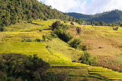 Yellow terraced rice field at Ban Pa Bong Peay in Chiangmai, Tha Royalty Free Stock Photos