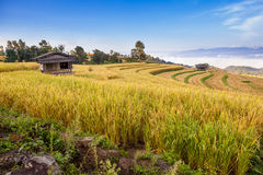 Yellow Terraced Rice Field in Chiangmai, Thailand Royalty Free Stock Photo