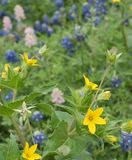 Yellow Texas Star and Bluebonnets in a garden. A patch of beautiful yellow Texas Star mixed with pink and blue Texas Bluebonnets growing in a meadow stock photography