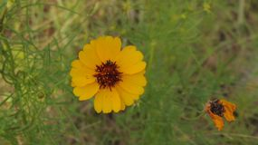Yellow Texas Wildflower Next to Dead Flower stock image