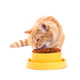 Yellow thai cat with dry food Stock Photography