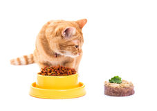 Yellow thai cat with dry food Stock Image
