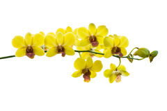 Yellow thai orchids.(This image contain clipping path) Stock Photos