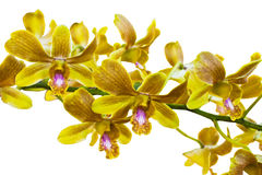 Yellow thai orchids.(This image contain clipping path). The yellow thai orchids.(This image contain clipping path Stock Images
