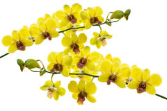 Yellow thai orchids on isolate. stock image