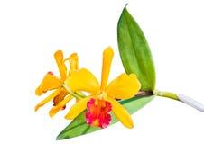 Yellow thai orchids. stock photo