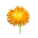 Yellow Thistle flower, aster, Illustration Stock Images